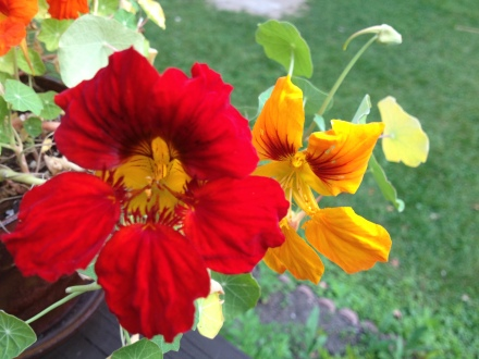 Nasturtiums in a pot on the deck.